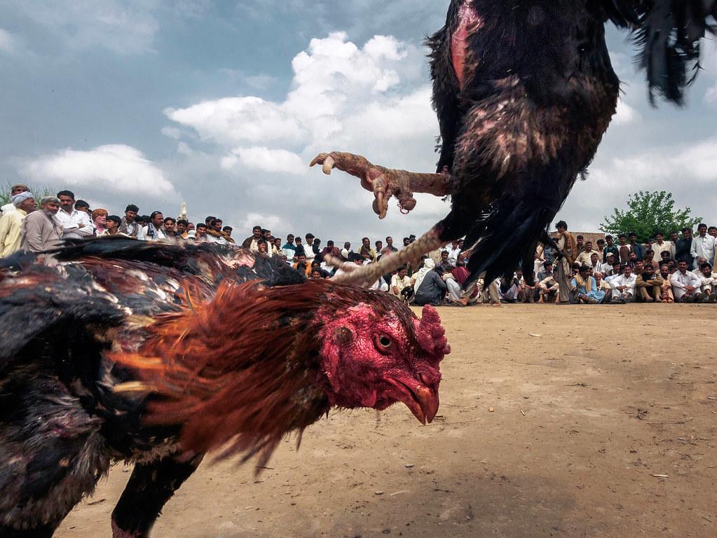 Agar Ayam Petarung Menang